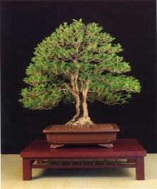 Ligustrum ovalifolium - Joan Camarasa Carrasco (Espanha)