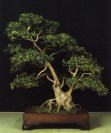 Murraya paniculata - George Joseph Thomas (Espanha)