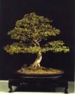 Ulmus parvifolia - Antonio Fuente Yila (Espanha)