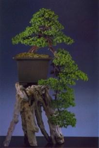 Danny Use - Juniperus rigida (fora da competição)