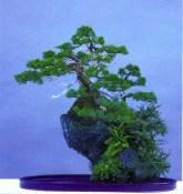 Jean Paul Polmans - Juniperus chinesis - Ishitsuki - 57cm