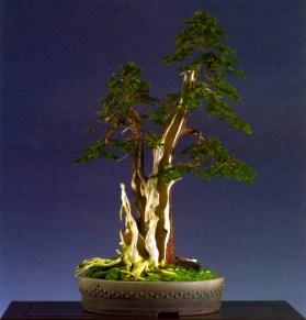 Kevin Wilson - Taxus baccata - Literati/Sharmiki 76cm