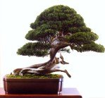 Bonsai de Akio Kato