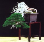 6˚ premio - Ennaro Manzone (Juniperu chinensis)
