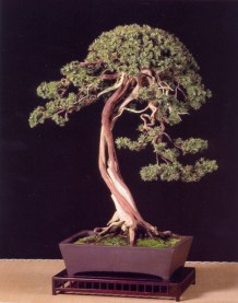 Juniperus formosana - Laurent Darrieux (França)