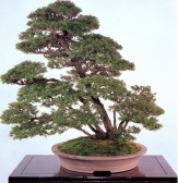 Japanese hemlock - 100 anos - 82 cm