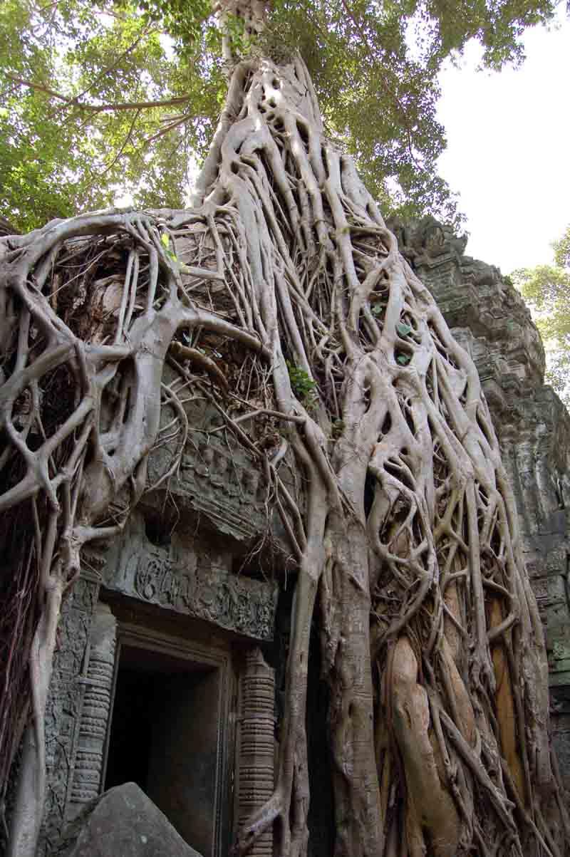 ka_tree_roots_taprohm