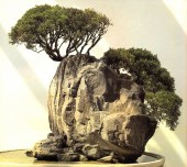 Chinese juniper - 25 anos - 65cm