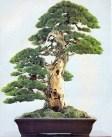 Pinus parviflora - 150 anos - 94cm
