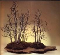 Fagus crenata - 6/25 anos - 60cm