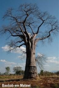Baobab Tree LR(1)