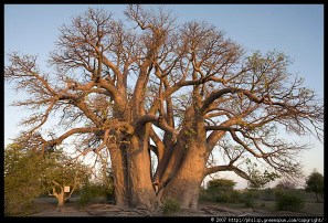 chapmans-baobab-with-tourist.3