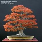 big Japanese maple bonsai in spring
