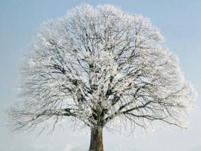 change_of_season2c_sommer-linde_28tilia_platyphyllos29