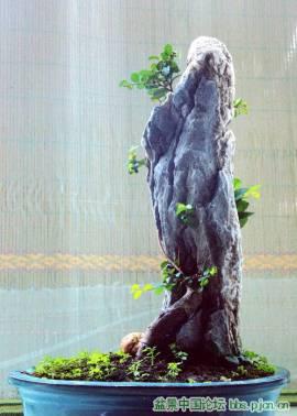 elm and stone Bonsai tree