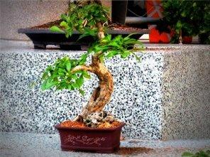 phoca_thumb_l_Crescentia cujete Totumo o tapara Informal OC