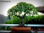 phoca_thumb_l_Ficus benjamina Matapalo Aparaguado RR