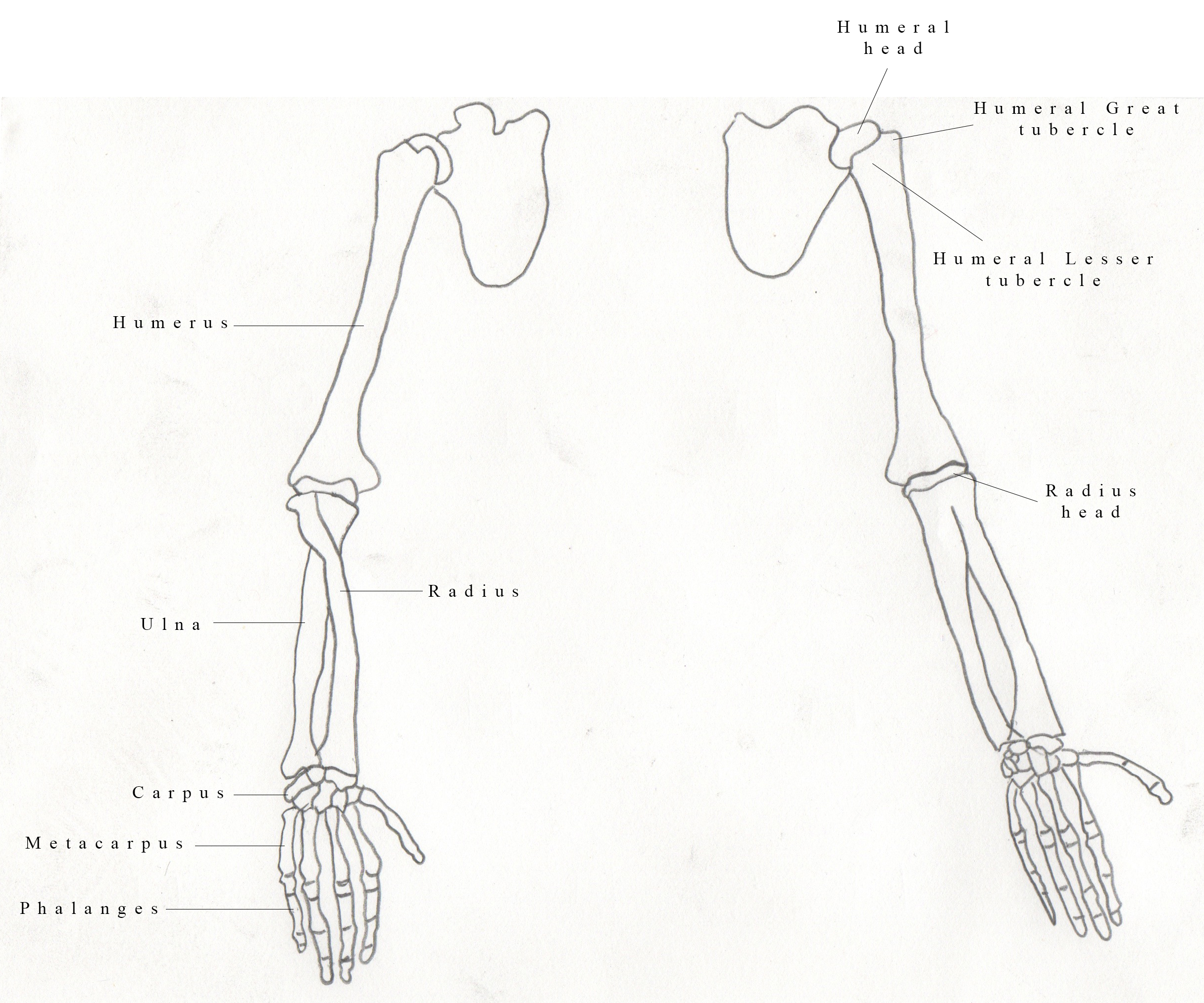 Upper Extremity Bone Diagram
