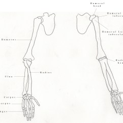 Chicken Wing Bones Diagram House Construction Terms Labeled Arm Wiring And Fuse Box