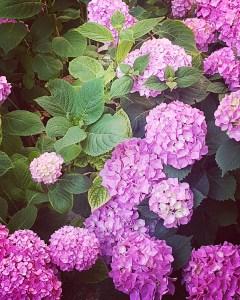 イタリアの紫陽花