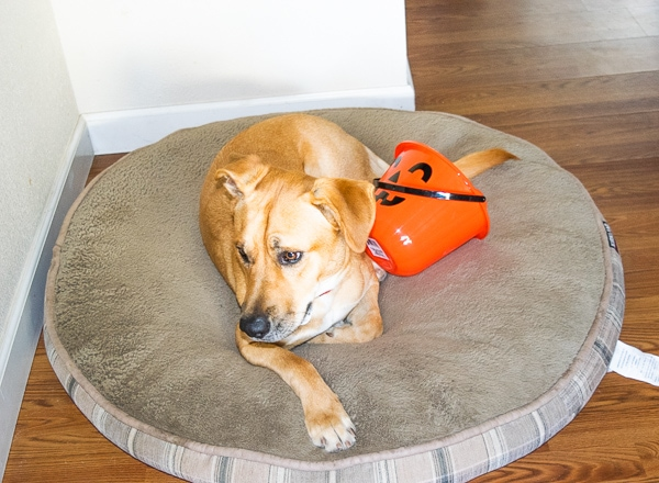 A large dog laying on a round dog bed next to an orange pumpkin bucket.