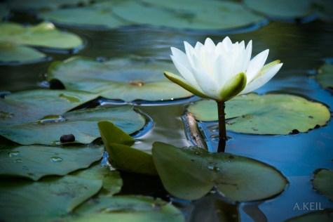 Kenilworth Aquatic Gardens Lily Lillies