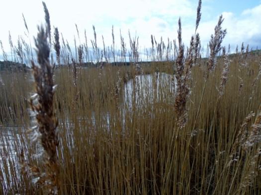philorth reeds
