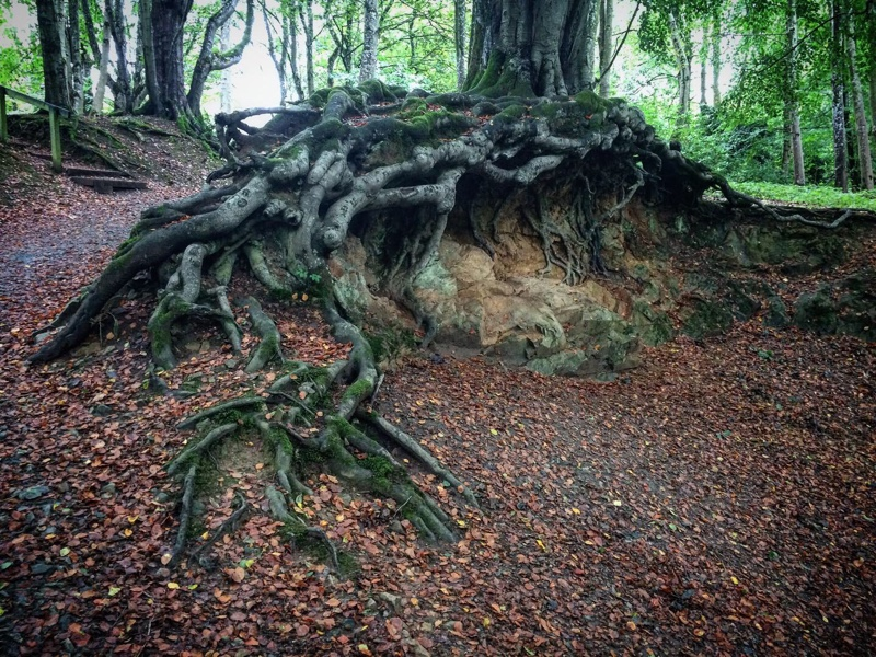 Gnarly tree at Aden Country Park