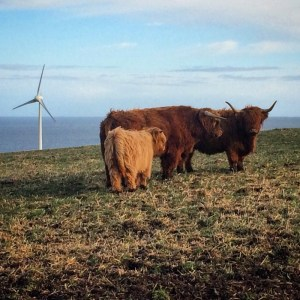 Highland cows social distancing too