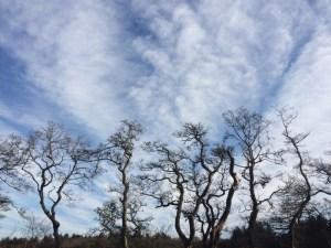 hazel trees on the skyline