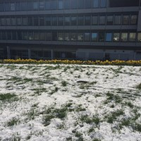 Daffodils in Snow, and History Lessons