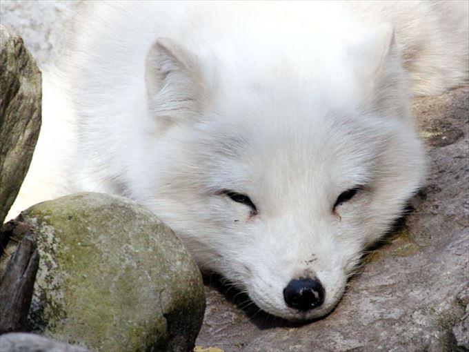 眠そうなキツネがかわいい