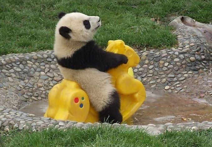 遊具で遊ぶ赤ちゃんパンダ