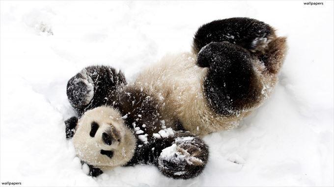 雪の上でくつろぐパンダがかわいい