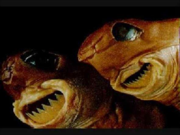 深海魚のクッキーカッターシャーク