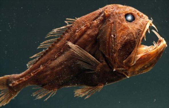 長い牙を持つ深海魚