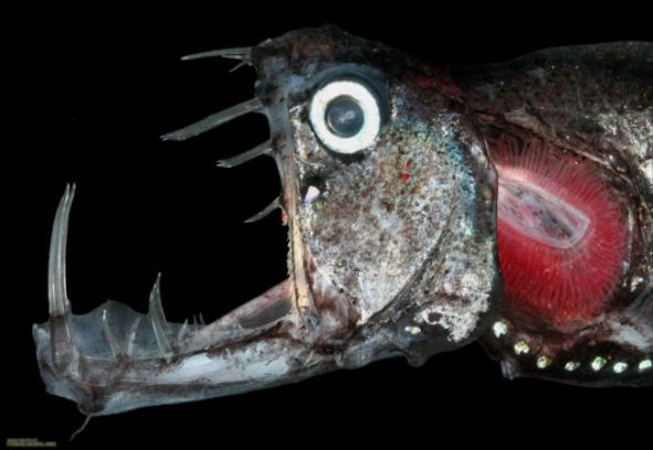 大きな牙の深海魚