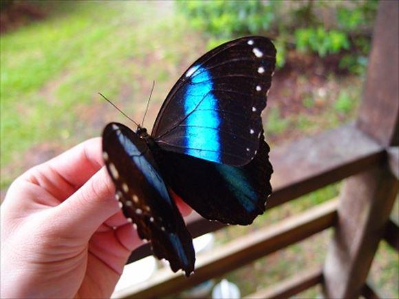 美しい蝶 13.0