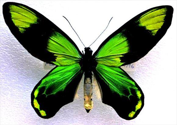 美しい蝶 18.0