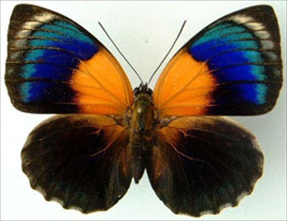 美しい蝶 3.0