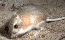 ネズミも笑い声をあげる。ネズミに関する興味深い雑学11種