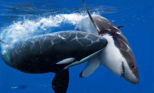 海の王者、シャチのびっくりするすごい雑学&生態