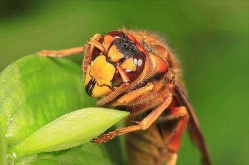 日本にいる危険なハチ全12種(スズメバチほか)
