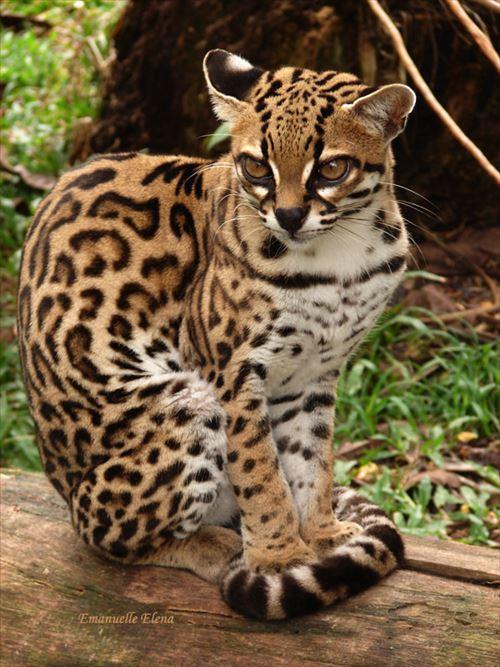 見たことない本当に珍しいネコ科動物13種