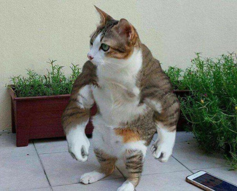 strong cat kitty