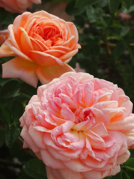 Alchemist Rose