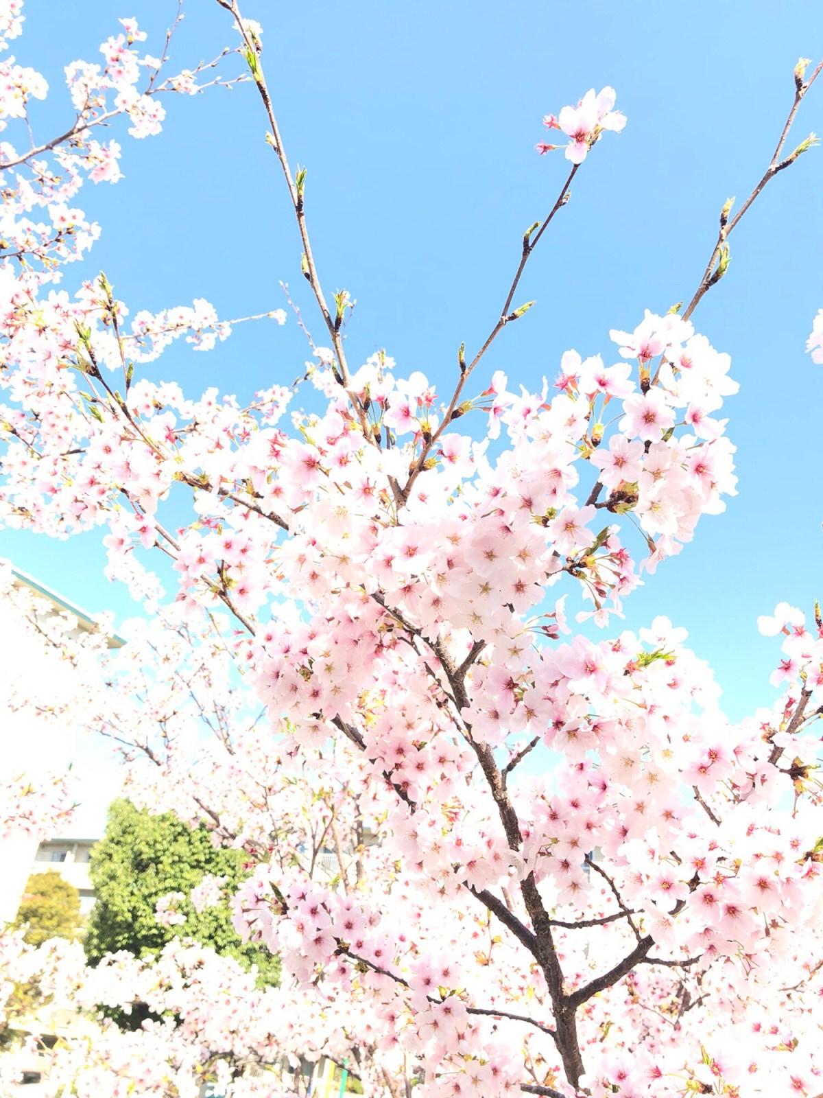 桜を見るなら今ですよ!