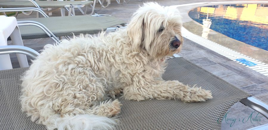 Small white dog sitting on a sunlounger beside a pool.