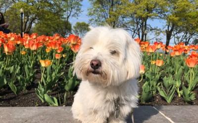 Immigrer avec son (petit) chien au Canada
