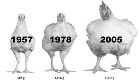 ayam penyebab kanser
